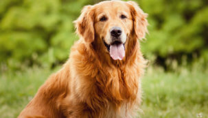 cachorro-golden-retriever-0916-1400x800