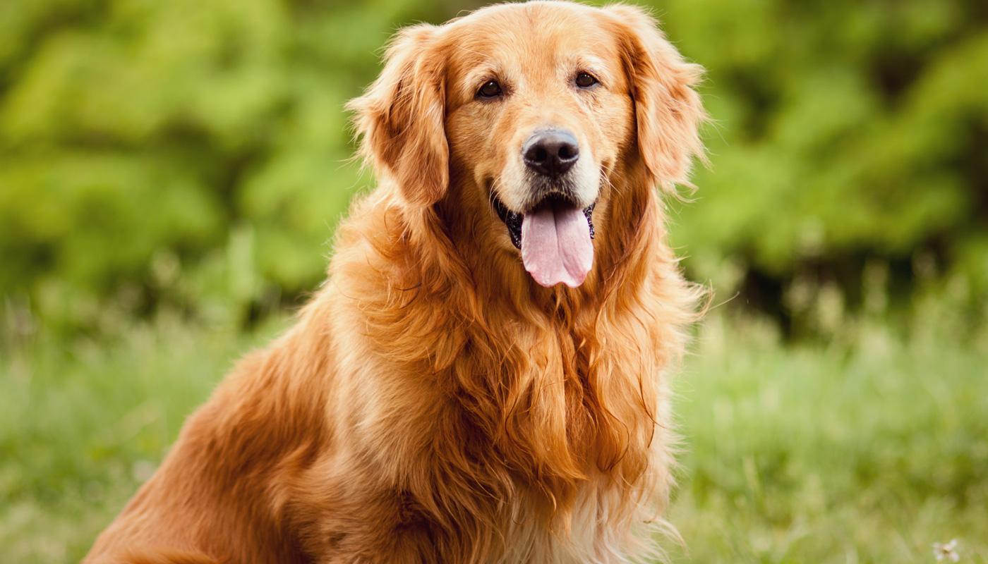 cachorro-golden-retriever-0916-1400x800